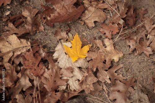 Yellow maple leaf surrounded by dry fallen leaves - great for a natural wallpaper