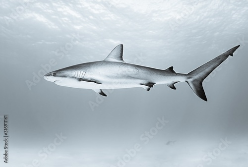 Tiger shark swimming in the ocean during daytime Canvas Print
