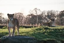 Closeup Shot Of A Female Lion ...