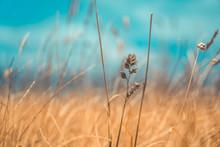 Pampas Grass Field In Wellington, New Zealand