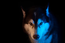 Husky Portrait Of A Wolf's Hea...
