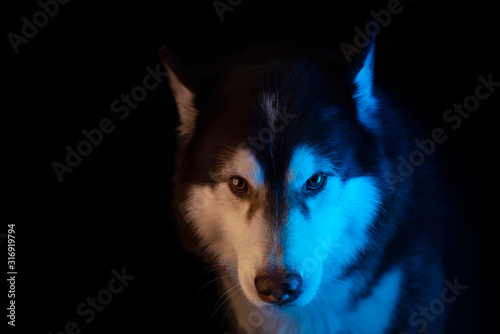 Husky portrait of a wolf's head on a black background Canvas Print