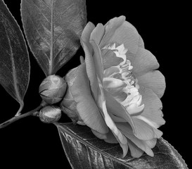 Fototapeta Kwiaty Monochrome gray white veined camellia blossom. two buds,three glossy leaves,macro, a fine art still life bloom isolated on black background