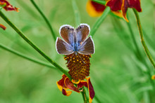 Eastern-tailed Blue Butterfly Resting On A Mexican Hat, Upright Prairie Coneflower