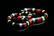 Pueblan Milk Snake Or Campbell...