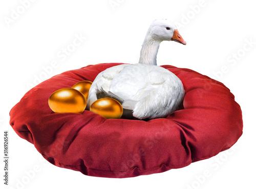 Fototapeta White goose laying golden eggs isolated on white