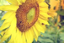 Little Bee Feeding Pollen On S...