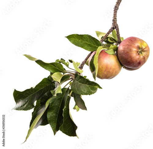 Fotografia, Obraz Apple tree branch with fruits and green foliage isolate