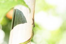 Gecko Lizard On A Bamboo Pole ...