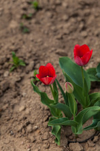 Two Red Tulips Blooming In A Flower Bed