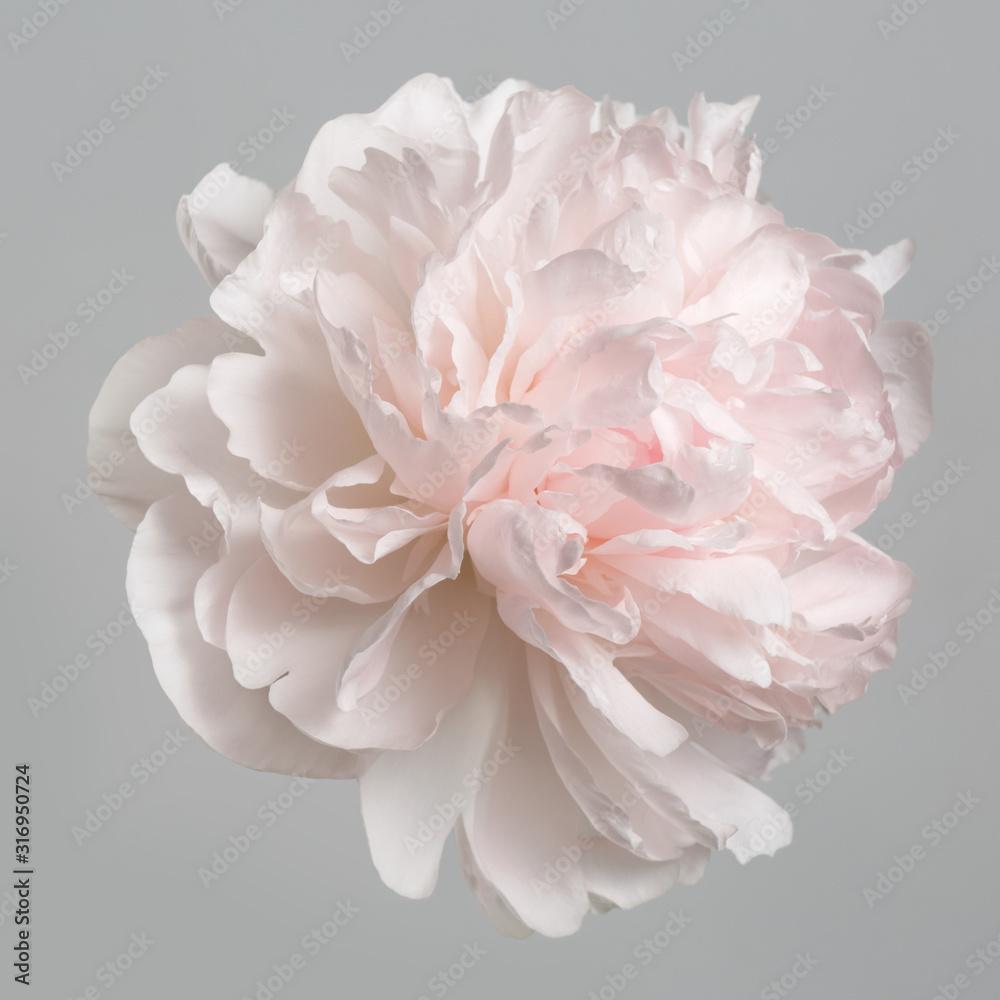 Pastelowa delikatnie różowa piwonia na białym tle na szarym tle. <span>plik: #316950724 | autor: ksi</span>