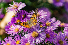 Low Bushes Of Lilac Chrysanthemums Bloom, And Butterflies And Bees Fly Around. Autumn Flowers Under The Sun. The Buzzing Of Insects That Collect Pollen In October, September And November