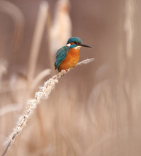 Kingfisher Perched On A Reed