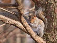 Eastern Gray Squirrel Sitting ...