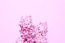 Beautiful Pink Hyacinth Inflor...