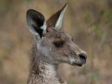 Side Profile Of An Eastern Grey Kangaroo Surrounded By Greenery With A Blurry Background