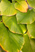 Tilia Americana Leaves