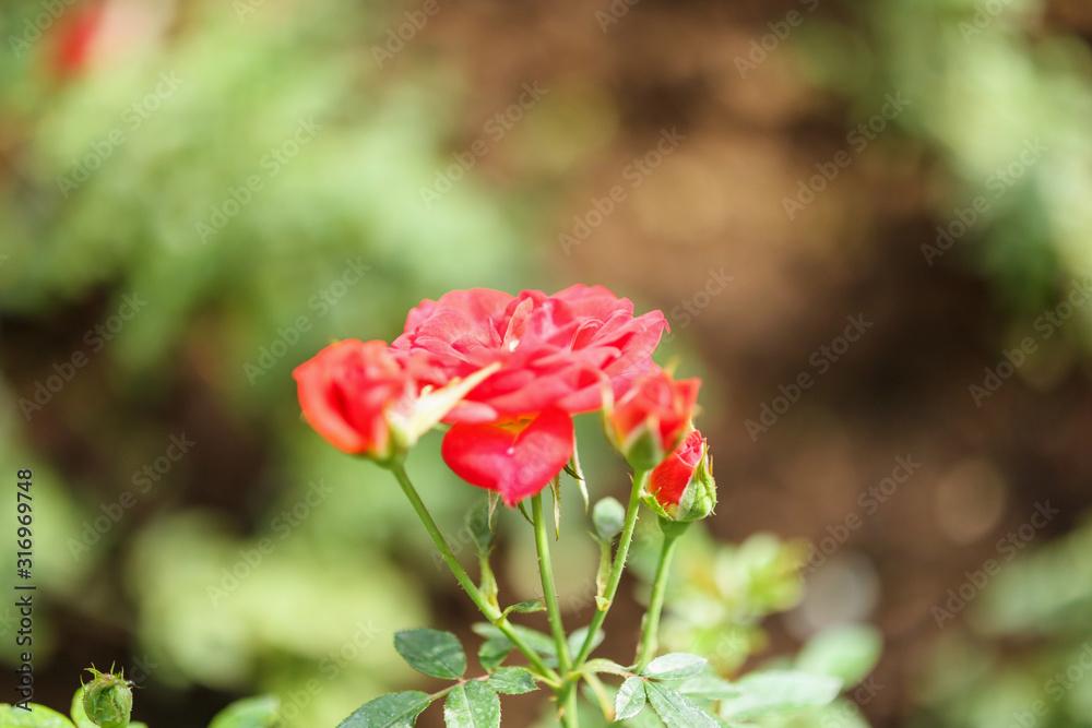 Fototapeta Beautiful red roses flower in the garden
