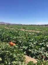 Pumpkin Patch - Orchard