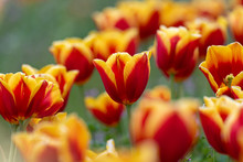 Yellow And Red Tulips Flower, ...