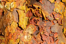 Close Up Detail Of Peeling Bark Of An Acer Griseum Or Paperback Maple Tree Trunk