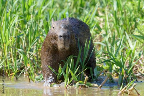 Capybara (Hydrochaeris hydrochaeris) standing in river, Pantanal, Mato Grosso, B Wallpaper Mural