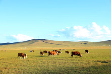A Herd Of Cattle Are Eating Gr...