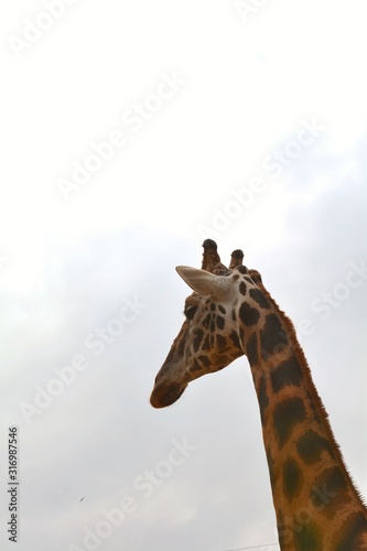 a tall giraffe in the zoo Wallpaper Mural