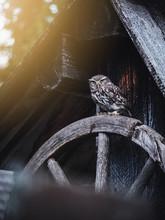 Little Owl (Athene Noctua) Sit...