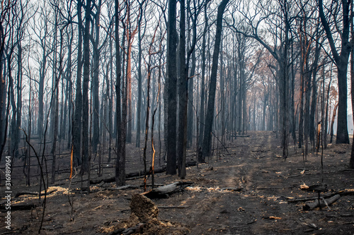 Australian bushfires aftermath: burnt eucalyptus trees damaged by the fire Canvas Print