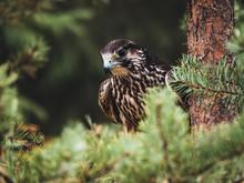 Saker Falcon (Falco Cherrug) In Pine Forest. Saker Falcon Portrait. Autumn Forest Background.