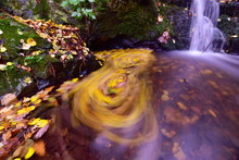 Autumn Leaves Float On The Surface Of The Stream