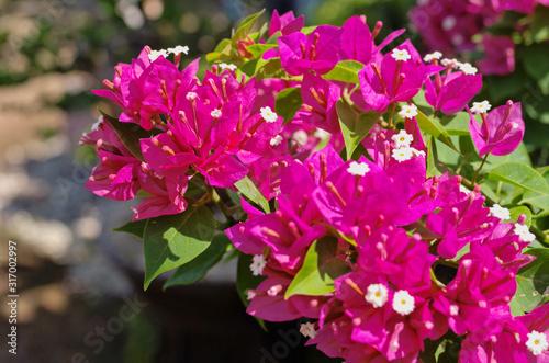 Beautiful blooming Lesser bougainvillea ,paperflower ,great bougainvillea (Bougainvillea glabra ,B Canvas Print