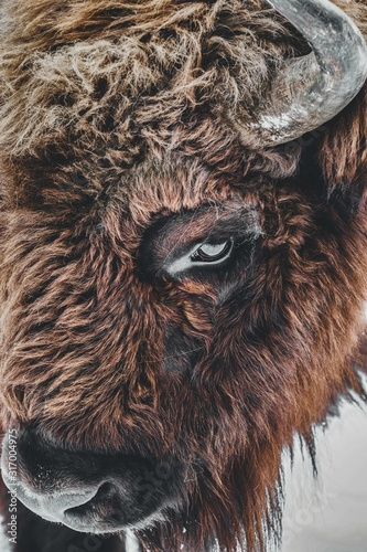 Closeup of a brown bison eye with horns under the lights during daytime