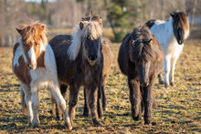 Group Of Cute Icelandic Horse Foals Approaching The Camera