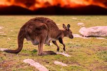 Kangaroo With Baby In Kangaroo...