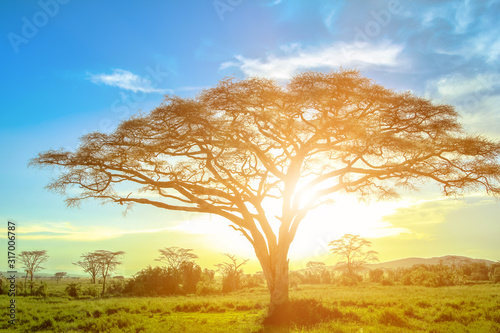 African acacia tree at sunrise in the African savannah of the Serengeti wildlife area of Tanzania, East Africa Wallpaper Mural