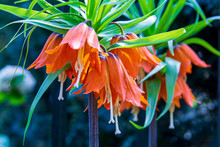 Fritillaria Imperialis Or Crow...