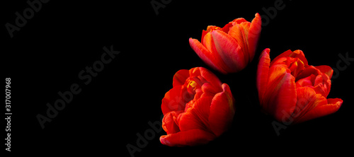 Bouquet of bright heads of blooming tulip flowers of red on black background, ba Canvas Print