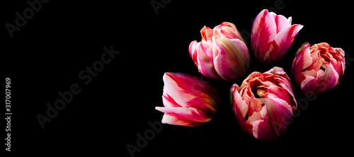 bukiet-jasnych-glow-kwitnacych-tulipanowych-kwiatow-rozu-na-czarnym-tle