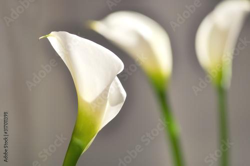 Calla Blume Blüte Zantedeschia Weiß Trauer Liebe Symbol Hochzeit Beerdigung Rein Canvas Print