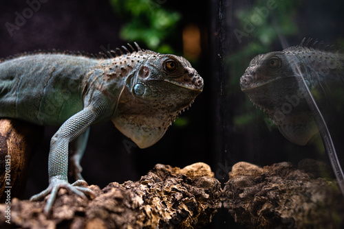 Cuadros en Lienzo Reflected view of the head of an iguana deep thoughts concept self secret myster