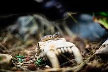 Leopard Gecko Lizard Close Up ...