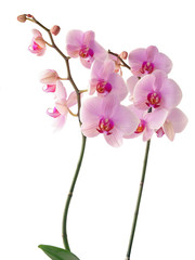 pink flowers of orchid Phalaenopsis close up