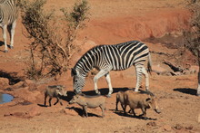 Warthogs And Zebra At Watering...