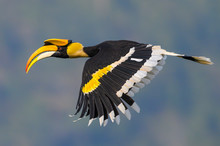 Beautiful Great Hornbill Flying In Nature