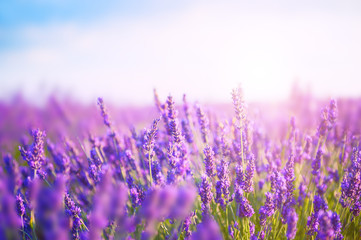 Lavender flowers in the morning sunlight. Provence, France. Macro image, shal...