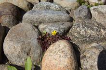 A Flowers Grows Between Boulders