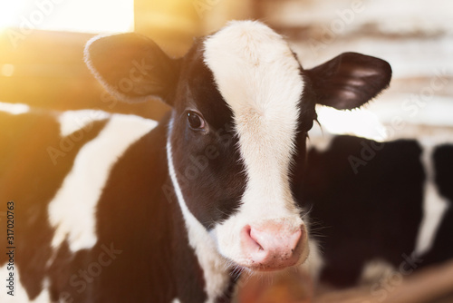 Fotografia calf on the farm