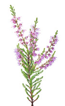 Pink Blossoming Heather One Br...